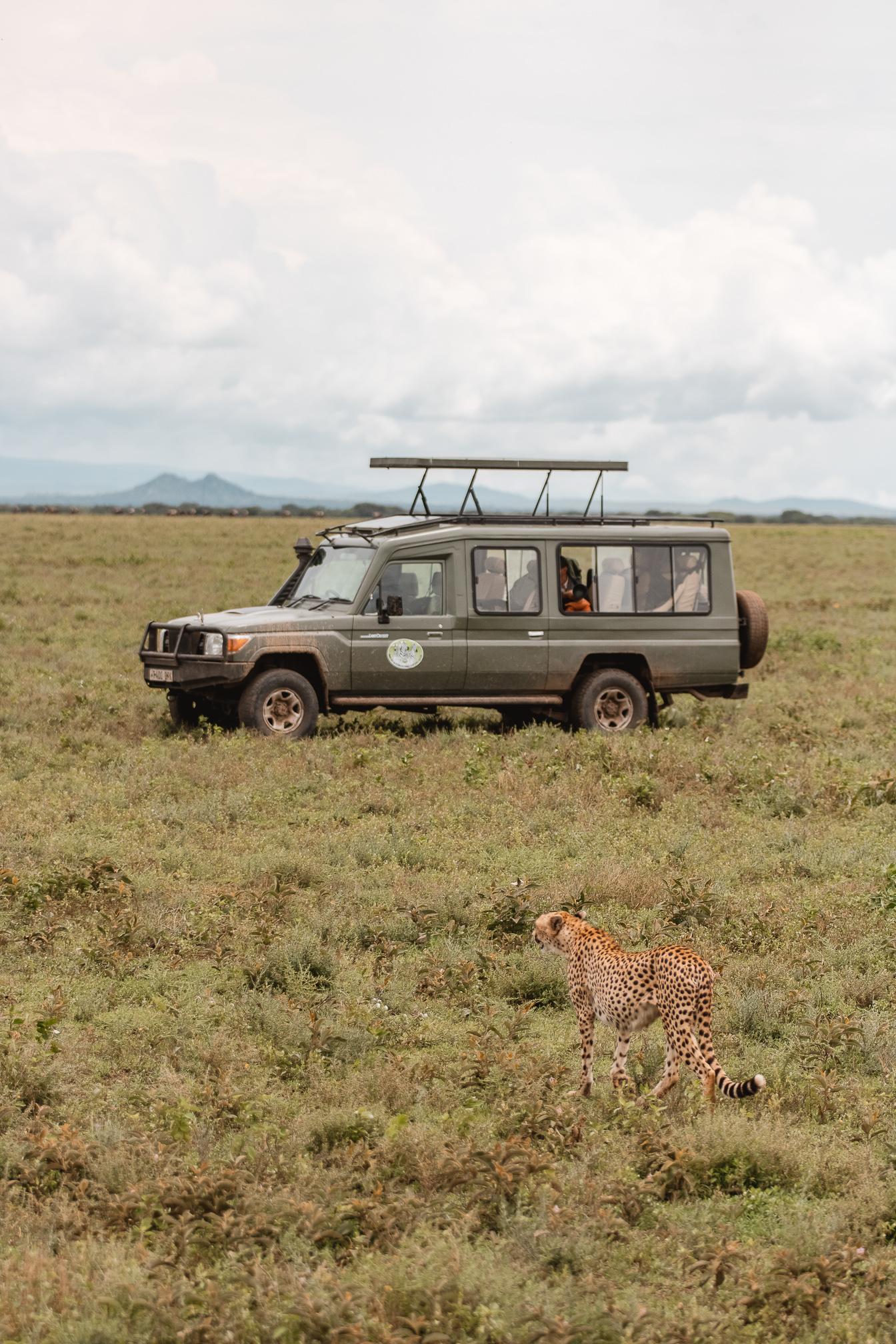 guepardo safari africa